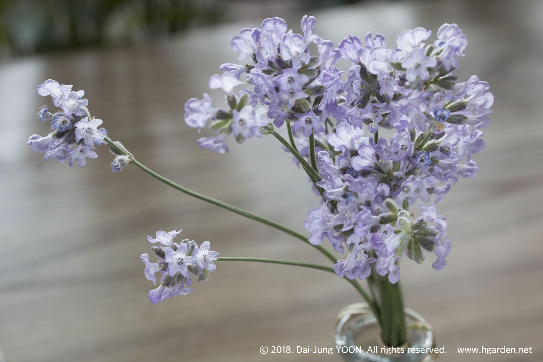 라벤더 Lavender