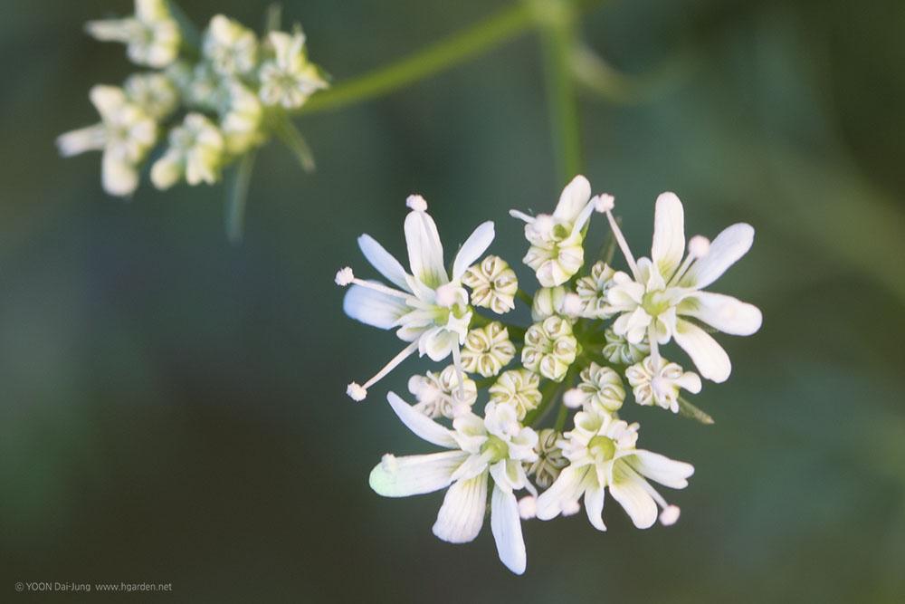 고수 꽃 코리앤더 coriander