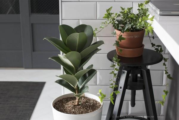 인도 고무나무_Rubber_plant