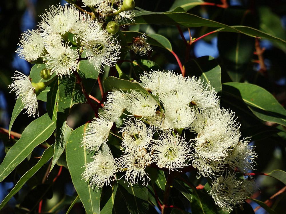 유칼립투스 꽃