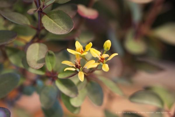 긴꾸따루(갈피미아) Galphimia gracilis