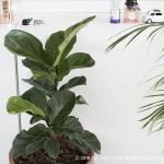 떡갈고무나무 fiddle leaf fig