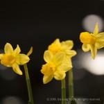 IMG_2654_Narcissus
