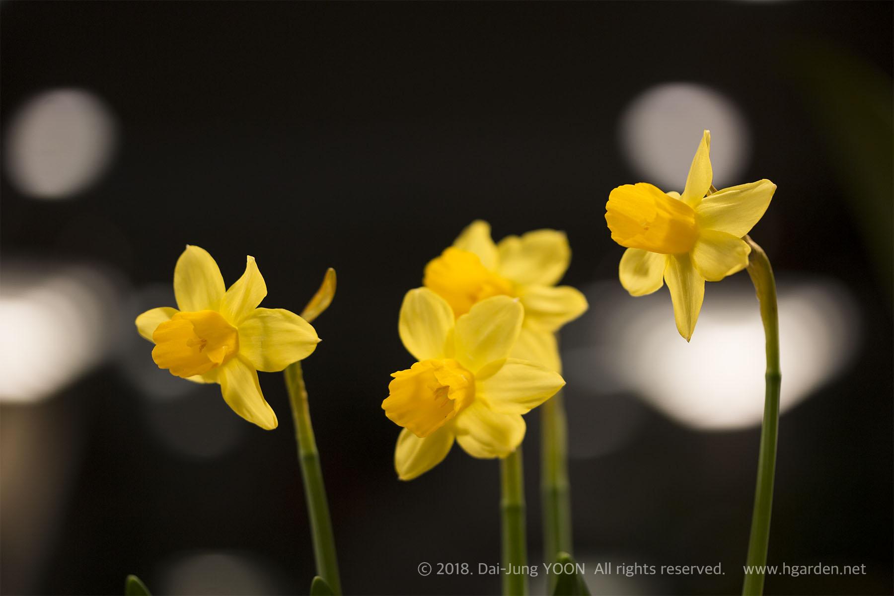 수선화 Narcissus(Daffodil)