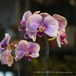 IMG_2719_Moth_orchid