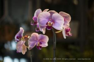 호접란(팔레놉시스)_Moth_orchid