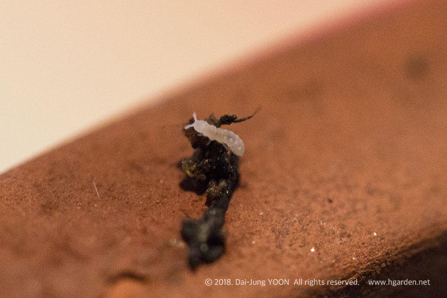 총채벌레 유충 thrips