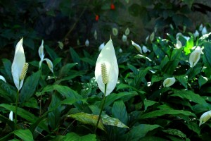 스파티필럼 peace-lily