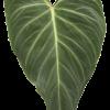 필로덴드론 베루코섬 x 멜라노캐리섬
