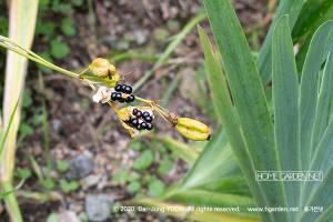 범부채 열매
